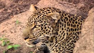 Download Revealing the Leopard | Nature Documentary HD Video