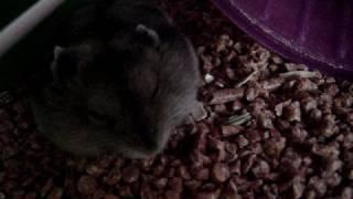 Download Canción de Cuna - Estrellando..: mis 14 hamsters! Video