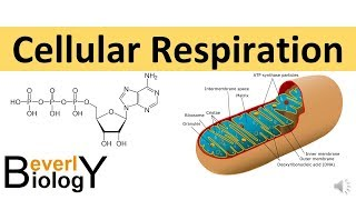 Download Cellular Respiration (in detail) Video