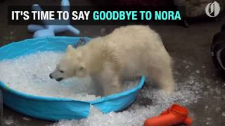Download Nora the polar bear to leave the Oregon Zoo Video