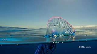 Download The Deadly Portuguese Man O' War | Planet Earth: Blue Planet II | Saturdays @ 9/8c on BBC America Video