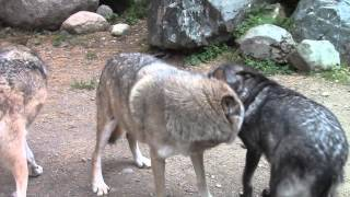 Download International Wolf Center -Fall Was in the Air... 26 September 2014 Video