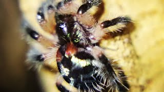 Download T. seladonia The tarantula everyone wants!! A Palp Friction unboxing!!! Video