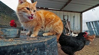 Download The cat that thinks he's a chicken Video