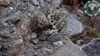 Download INDIAN WILDLIFE - SNOW LEOPARDS Video