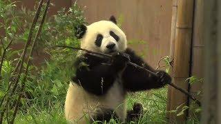 Download Berlin: Die Pandas sind da! Video