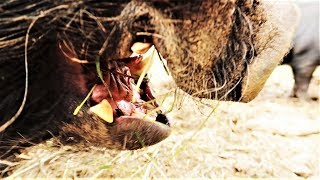 Download WHY HOGS ARE SO DANGEROUS Video
