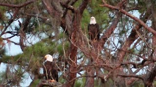 Download SWFL Eagles Two Nests To Choose From? M Adds 1st Stick To Old~H Adds 3 Sticks To New 09-01-17 Video