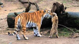 Download HD Tiger Babys - Cute Tigerbabys - Zoo Cologne - Amurtiger - cute baby animals Video