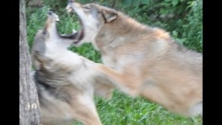 Download International Wolf Center - 16 August 2013 - Ritualized Dominance Video