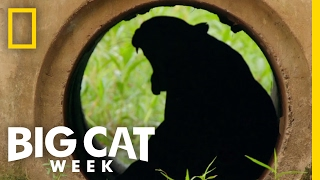 Download The Challenges Big Cats Face   Big Cat Week Video