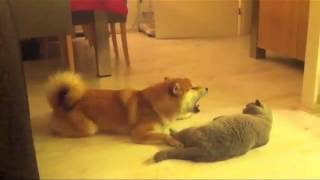 Download Dog Meows At Cat - Cat Not Impressed Video