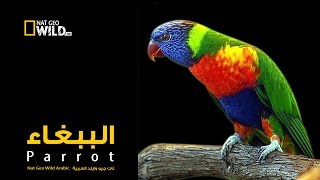 Download الببغاء | نات جيو وايلد العربية | Nat Geo Wild Arabic Video