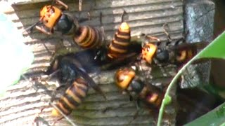 Download Giant hornets attacked beehive Oh my god! Video