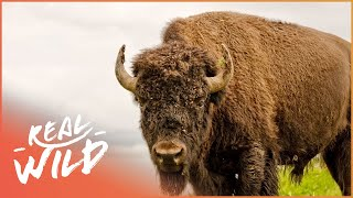 Download Buffalo In The House! | Animal Odd Couples | Real Wild Shorts Video