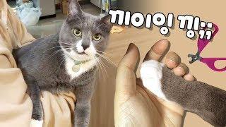 Download 발톱 깎기 싫어섴ㅋㅋ 멍멍이처럼 낑낑대는 고양이 (흰양말 클로즈업) Video