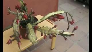 Download Cactus orquídea 7. Pluma de Santa Teresa, Epiphyllium hibridus. Video