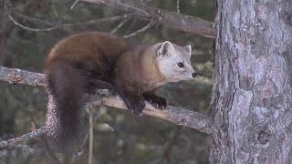 Download American Pine Marten & Gray Jay - Evening Grosbeak & Red Fox Video