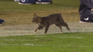 Download Animal Interference in Football | Part 2 Video