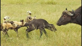 Download Wild Dogs Take 5 Buffalo Calves in an EPIC Feeding Frenzy! Video