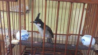 Download Cách thuần chim chào mào bổi 2 tuần đứng lồng thuần 90% Video