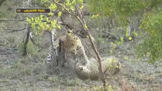Download A closer look at aggressive big cat courtship - #safariLIVE Video