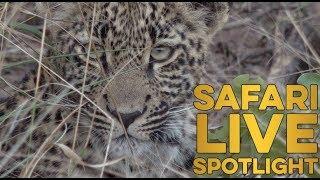 Download Royal Leopards of Djuma: The Next Generation Video
