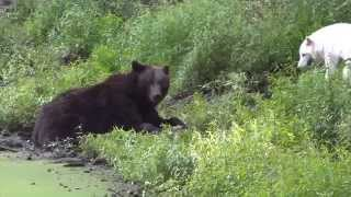 Download Wolves vs bear a fight over food Video
