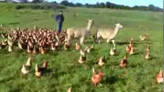 Download Alpacas Guarding Chickens Video