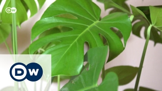 Download The Swiss cheese plant is back | Euromaxx Video