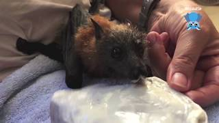 Download Baby bat loves yoghurt: this is ET Video