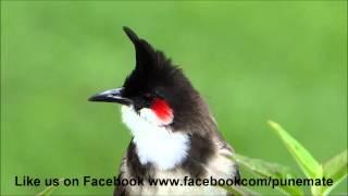 Download Bulbul Singing Video