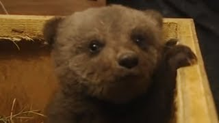 Download Boris the cute baby bear Video