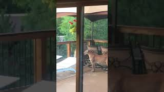 Download Man Films Group of Mountain Lions on Porch in Colorado Video