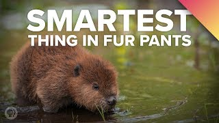 Download Why BEAVERS Are The Smartest Thing In Fur Pants Video
