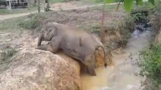 Download Stuck baby elephant gets help from aunt Video