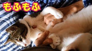 Download ♀猫こむぎがモフモフされて腹筋崩壊!【猫日記こむぎ&だいず】2016.12.05 Video