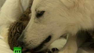 Download Video: Dog adopts, nurses orphaned tiger cubs in Russia Video