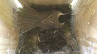 Download Chickadee Defends Babies - Day 9 Hatch Video
