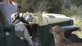 Download Cheetah and Leopard Feeding Video