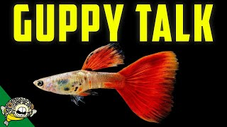 Download Lets talk Fancy Guppies. Guppy Fish! Live Stream Video