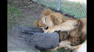 Download Rescued Circus Lions Won't Stop Playing With New Toys Offered To Them In Their New Home. Video