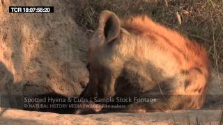 Download Hyena cubs in HD Video