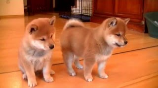 Download Szczeniaki shiba inu w wieku 6 tygodni / Shiba inu puppies 6 weeks old Video