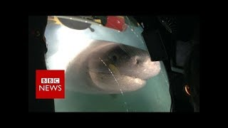 Download Blue Planet II behind the scenes: The moment giant sharks attack crew submarine - BBC News Video