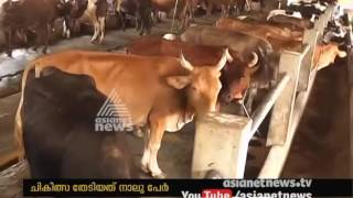 Download Cattle Diseases Brucellosis spread to human beings in palakkad Video
