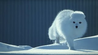 Download How to Survive as a Tiny Arctic Fox | Wild Alaska | BBC Earth Video