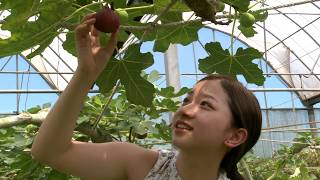 Download Fig Beyond Sweet Taiwan Leisure Farms Development Association Full HD 5 Minutes Video