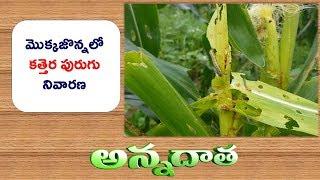 Download Fall Army Worm (Kathera Purugu)   Damage In Maize    ETV Annadata Video