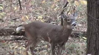 Download 6 Point Buck In Rut And Grunting Video
